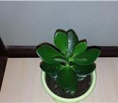 Foto в Домашние животные Растения По китайскому учению фэн-шуй толстянка (крассула, в Москве 100