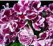 Фотография в Домашние животные Растения Продам неукоренённые  черенки  сортовых фиалок в Прокопьевске 25