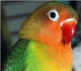 Foto в Домашние животные Птички продам неразлучника пол птицы неизвестен в Красноярске 1000