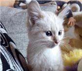 Полупородистые котята 4430148 Домашняя кошка фото в Екатеринбурге