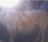 Фотография в Домашние животные Услуги для животных Крупный кобель среднеазиатской овчарки предлагается в Челябинске 0
