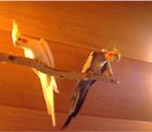 Фотография в Домашние животные Птички Продам птенцов попугаев Корелла.Окрас жемчужный в Североуральск 2000