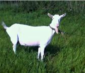 Фотография в Домашние животные Другие животные Зааненскии казел покроит ваших коз за вознагрождение в Туле 500