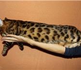 Изображение в Домашние животные Вязка Крупный развязанный кот с окрасом крупная в Челябинске 4000