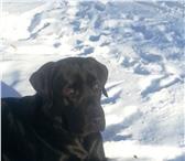 Foto в Домашние животные Вязка собак мальчик 1г.8 мес. черный.с хорошей родословной.привитый. в Челябинске 0