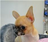 Изображение в Домашние животные Выставки собак Продаётся маленькая, но очень крепенькая в Ставрополе 25000