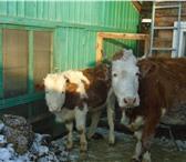 Фотография в Домашние животные Другие животные Продам крупную, дойную, стельную корову с в Улан-Удэ 55000