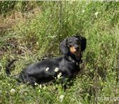 Foto в Домашние животные Вязка собак Ищем мальчика для вязки с молодой таксой. в Астрахани 500