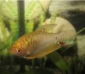 Изображение в Домашние животные Рыбки Продаются аквариумные рыбки сом таракатум в Перми 51