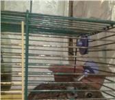 Изображение в Домашние животные Другие животные продам челискую дегу белка с клеткой ласковая в Иваново 800