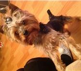 Foto в Домашние животные Вязка собак Йоркширский терьер, зовут Йорик;) среднего в Пскове 1