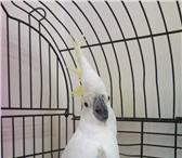 Изображение в Домашние животные Птички Продаётся какаду Тритон,  ручная любит поговарить, в Нижнем Новгороде 0