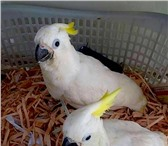 Фото в Домашние животные Птички В продаже птенцы выкормыши желтохохлого какаду в Москве 0