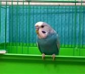 Foto в Домашние животные Другие животные В связи с переездом продам волнистого попугайчика, в Владивостоке 1500