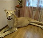 Изображение в Хобби и увлечения Охота Продам чучело африканской львицы, выполнено в Москве 320000