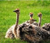 Фото в Домашние животные Птички Страус черного африканского страуса Самой в Казани 30000