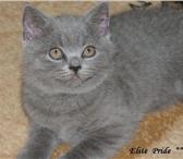 Foto в Домашние животные Другие животные Питомник британских кошек Elite Pride г.Иваново в Иваново 13000