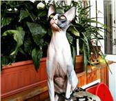 Фотография в Домашние животные Вязка Чистокровная Кошечка Донского Сфинкса по в Краснодаре 1