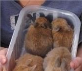 Изображение в Домашние животные Грызуны Отдам в добрые руки декоративных кроликов.Возраст в Егорьевск 0