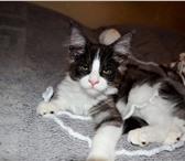 Продам котят породы мейн кун 4268119 Мейн-кун фото в Улан-Удэ