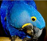 Фото в Домашние животные Птички В продаже абсолютно ручные птенцы выкормыши в Москве 0