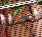 Фото в Домашние животные Птички Продаются зебровые амадины 5 месяцев, можно в Нижневартовске 400