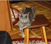 Изображение в Домашние животные Услуги для животных Кот Русской голубой породы с хорошей родословной в Москве 3