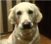Фото в Домашние животные Вязка собак Девочка голден ретривер,1год 7мес.без родословной,ласковая,игривая,энергичная,ищет в Архангельске 0