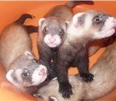 Изображение в Домашние животные Другие животные Продаются хорьки в Челябинске. Малыши родились в Челябинске 7000