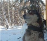 Изображение в Домашние животные Вязка собак Красивый, сильный кобель ищет подружку для в Якутске 3000