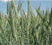 Фото в Домашние животные Растения ООО «КУБАНЬ АГРО» предлагает к реализации:Семена в Краснодаре 15