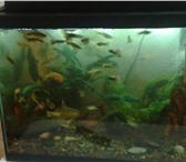 Фото в Домашние животные Рыбки продам рыбок гуппи.разных цветов. в Красноярске 10