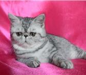 Экзотические кошечки редкого окраса 4768379 Экзотическая короткошерстная фото в Омске