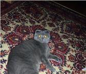Изображение в Домашние животные Вязка Очаровательная  кошечка(скотиш-фолд) голубого в Троицке 0
