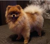 Изображение в Домашние животные Вязка собак Наш красавец мужчина( 2,5 года) ищет себе в Ростове-на-Дону 0