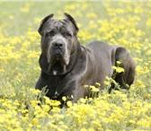 Foto в Домашние животные Вязка собак Предлагается кобель Кане-Корсо для вязки. в Астрахани 0