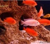 Изображение в Домашние животные Рыбки Продам аквариумных рыб за 40 руб. молодь в Москве 40