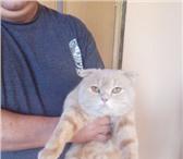 Фото в Домашние животные Вязка Шотландский, вислоухий 2 годика. Ищет невесту. в Екатеринбурге 1400