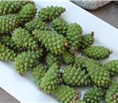 Фото в Домашние животные Растения Шишки сосновые зеленыРазмер-до 2.5 см.Вес-от в Барнауле 0